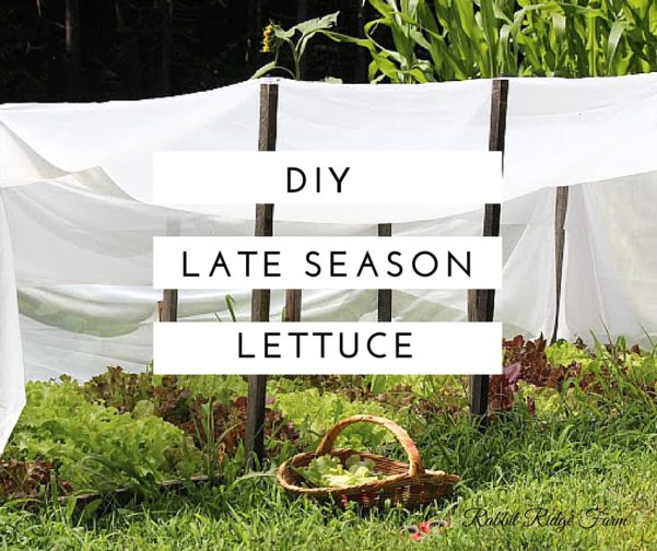DIY Late Season Lettuce