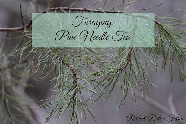 Foraging: Pine Needle Tea