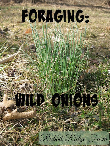 Foraging: Wild Onions