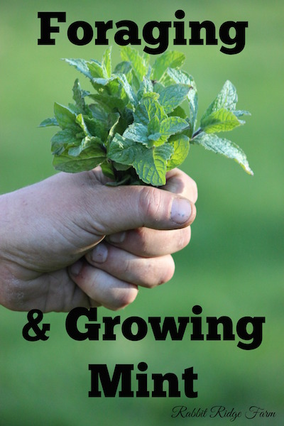 Foraging & Growing Mint