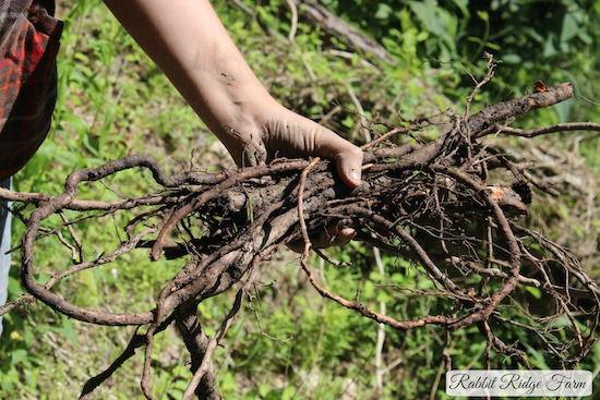 Foraging: Sassafras Roots