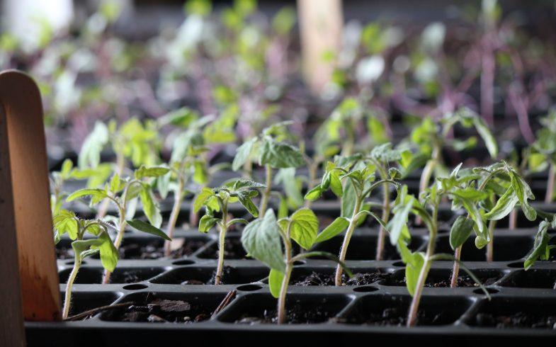 Springtime Hope: Tips for Growing Healthy Seedlings